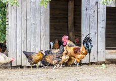 Ecologically kept chickens Stock Photography