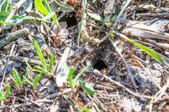 ecologie De parken van stadsingezetenen Ingezetenen van gazons insecten Mierenmieren op het gras Groene gras en mieren anthill la royalty-vrije stock foto