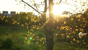Ecologisch concept Plastic afval op de takken van een boom Close-up van een de lenteboom bij zonsondergang, in de stralen van de  stock footage