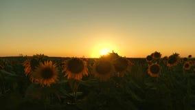 ecologisch schoon gewas van zonnebloem Bloeiend zonnebloemgebied in de stralen van een mooie zonsondergang Landbouwzaken stock videobeelden