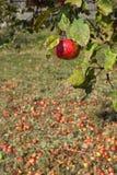 Ecologische appelboom Stock Foto's