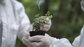 Ecologist dropping water on plant. Crop biochemists dropping water or fertilize or preparation on small sample of earth with sprout Stock Photos
