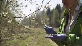 Ecologo che ottiene i campioni dei fiori del salice stock footage