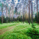Ecology background. Clear wild forest summer panorama Stock Images