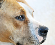 Portrait of amstaff dog Stock Image