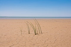 Ecology concept. The grass in the dry ground. The green grass in the dry ground on the coast. Ecology concept Royalty Free Stock Photography