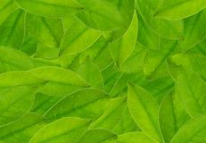 The Beautiful Fresh Green Leaves Textured Background Stock Photos