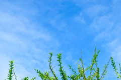 Branches of Calabash Tree Against on The Sky Royalty Free Stock Images