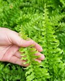 Hand Taking Care of Tassle Ferns in Garden. Ecology and Environment Concept, Closeup of Hand Holding Carefully Pteridophyta or Tassle Ferns. Taking Care of The Stock Photos