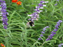 Ecology Garden Attracts Bumble Bees Stock Images