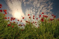 Ecology and invironment. Remembrance day, Anzac Day, serenity. Remembrance day, Anzac Day, serenity. ecology and invironment. ecology, poppy flower field Stock Photo
