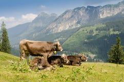 Economia pastorale con il bestiame su un pascolo Fotografie Stock Libere da Diritti