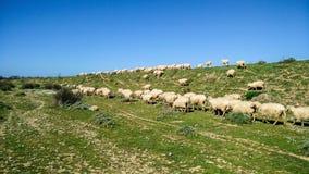 Economia rurale Pecore ed allevamento Immagini Stock Libere da Diritti