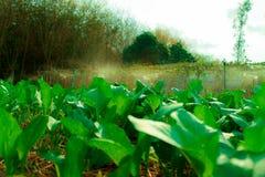 Economia sufficiente, verdura che pianta per mangiarsi Fotografie Stock Libere da Diritti