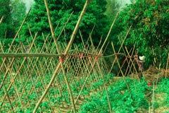 Economia sufficiente, verdura che pianta per mangiarsi Fotografia Stock