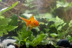 Carassius auratus goldfish behind a water plant royalty free stock image