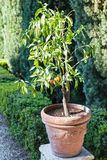 Ecorative orange tree in Giusti Garden in Verona Stock Images
