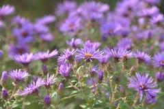 Ecos de la púrpura real del otoño Fotos de archivo