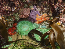 Ecosistema de la piscina de la marea Imágenes de archivo libres de regalías