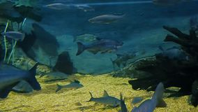 Ecosistema del fiume, pesce in un grande acquario, museo oceanografico del fiume video d archivio