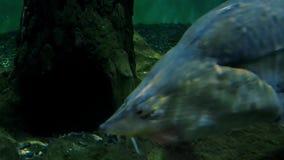 Ecosistema del fiume, pesce in un grande acquario, museo oceanografico del fiume stock footage