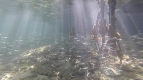 Ecosistema della mangrovia subacqueo con scuola delle radici minuscole dell'albero e del pesce video d archivio