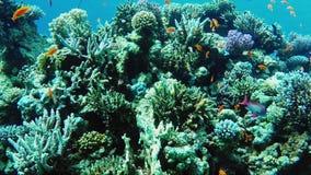 Ecosistema di una barriera corallina con molto Mar Rosso Anthias del pesce video d archivio
