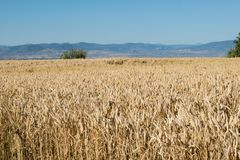 Ecosystem, Crop, Field, Grass Family royalty free stock image