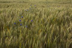 Ecosystem, Field, Grass Family, Food Grain stock photo