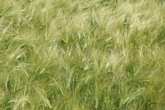 Ecosystem, Grass, Triticale, Food Grain stock images