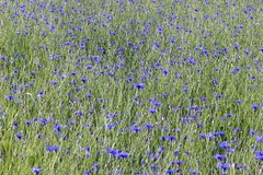 Ecosystem, Meadow, Field, English Lavender stock photography