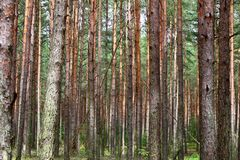 Ecosystem, Tree, Woodland, Spruce Fir Forest stock photo
