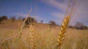 Ecosystem, Wheat, Field, Food Grain royalty free stock image