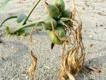 ecosystems Dunas de areia litorais imagem de stock royalty free