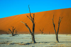 Ecotourism in dried lake Deadvlei. Ecotourism in  Namibia. The dried lake Deadvlei. Scenic dried trees among the giant orange sand dunes Royalty Free Stock Image