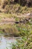Ecotourism Fotosafari i Afrika mara masai Royaltyfria Bilder
