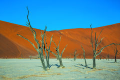 Ecotourism in  Namibia. The dried lake Deadvlei. Scenic dried trees among the giant orange sand dunes. Ecotourism in  Namibia Royalty Free Stock Photography