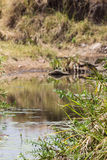 Small pond in the Serengeti. Tanzania Royalty Free Stock Images