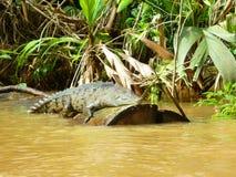Ecoturismo in Tortuguero, Costa Rica Alligatore Cocodrile Fotografia Stock