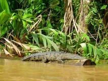 Ecoturismo in Tortuguero, Costa Rica Alligatore Cocodrile Fotografia Stock Libera da Diritti