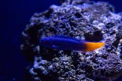 Ecsenius双色的鱼 免版税库存图片