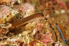Ecsenius sp. - Andaman Sea royalty free stock photography
