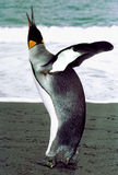 Ecstasy. A king Penguin displays ecstasy royalty free stock photography