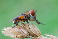Ectophasia crassipennis Stock Image