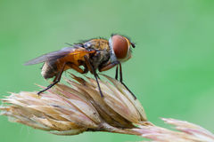 Ectophasia crassipennis Stock Images