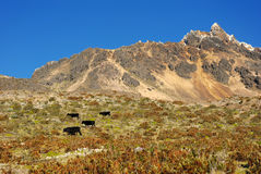Ecuador 2008 - Illiniza Norte mit Stieren Stockfoto