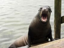 Ecuador, angry sea lion galapagos islands royalty free stock photography