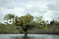 ecuador flottörhu trees Royaltyfri Fotografi