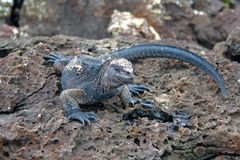 ecuador Galapagos iguany wyspy morskie Zdjęcia Royalty Free