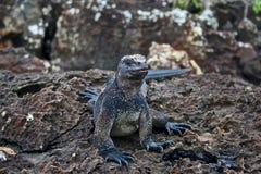 ecuador Galapagos iguany wyspy morskie Zdjęcie Stock